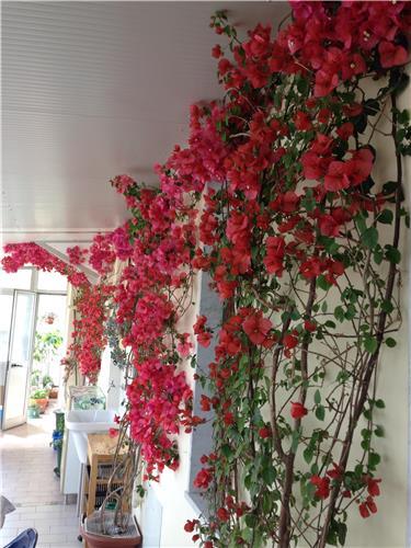 Oltre il giardino for Bouganville in vaso