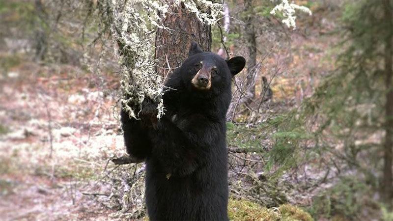 Znalezione obrazy dla zapytania live bear