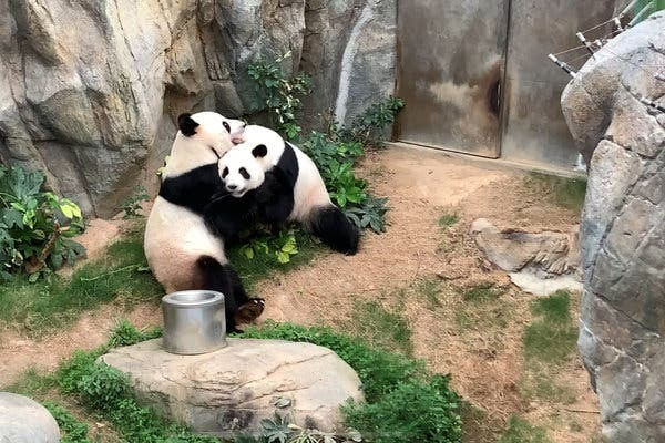 "Ying Ying and Le Le at Ocean Park in Hong Kong. Pandas have a mating ""season"" of just a few days per year."