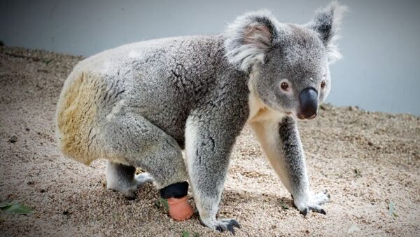 A koala walks to the right and looks to the camera. The koala has a prosthetic limb.
