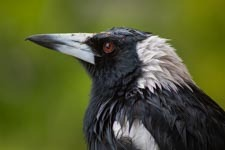 A close up shot of an Australian Magpie sheltering from the rain.
